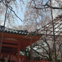 まだまだ、桜🎵