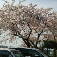 職場の桜も満開です
