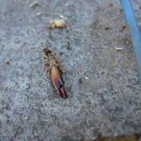 イチジク剪定、カミキリムシの幼虫!ひこばえも沢山!
