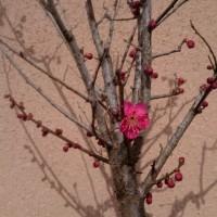 梅が咲いてはみたもの・・・