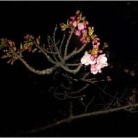 朝の月 と夜明け前の カワズ桜咲き出す 【2.20日】 長居公園。