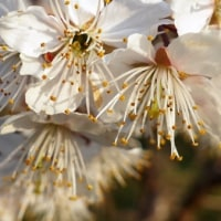 桜桃 ほぼ満開です。