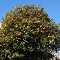 柑橘の街路樹?