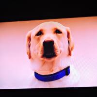 1/16 これ盲導犬協会のCMの犬