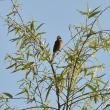 今日のハヤブサ幼鳥
