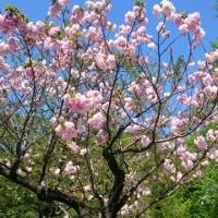 ボタン桜にさつきが満開です。