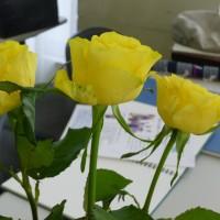 日本画、今度は黄色い薔薇に挑戦。