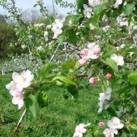 リンゴの花が咲いた(北山散策道)
