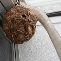 スズメバチの巣を撤去