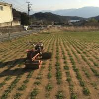 春まき小麦の麦踏み