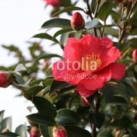 採用作品「晩秋の山茶花」