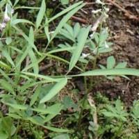 ミチノクエンゴサクの葉