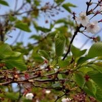 今年の桜の記憶とともに