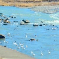 早春の信州・・・千曲川の脇流・・・マガモの群れが泳ぐ風景