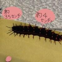 ツマグロヒョウモン幼虫、10/25、10/26
