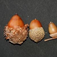 冬芽の観察88コナラ3