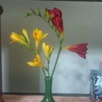 今年も開花♡フリージア
