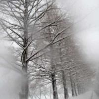 積雪のメタセコイア