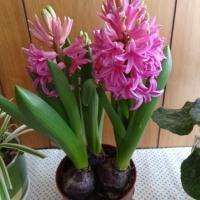 花達が春を呼ぶ!!呼んでほしい~♪
