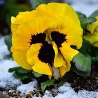 2/11 庭を雪が薄化粧