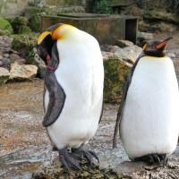 王様ペンギンの首(ちぢむ)