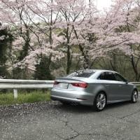 近くの桜満開の場所で