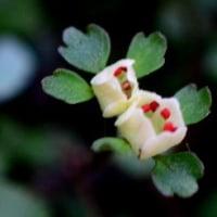 高尾山の花/ ハナネコノメ 梅郷 咲き始めました。   2017-02-22