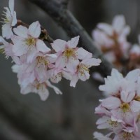 早咲きの桜・・・☆