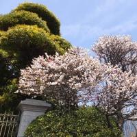 同じ枝にピンクと白の花を咲かせる桃ノ木。