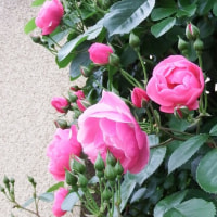 近所のピンクのバラ