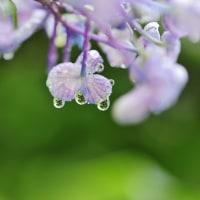 あじさいの花と雫