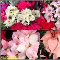 image2293 温室の花4