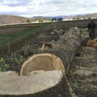 大木の伐採