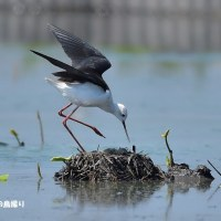 今日の野鳥・・・セイタカシギ 【その1】・・・抱卵中で。。