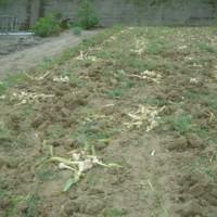ジャンボの収穫