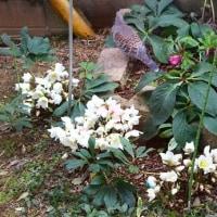 キジバトとクリスマスローズの花