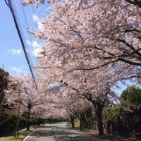 桜の下のサクラ