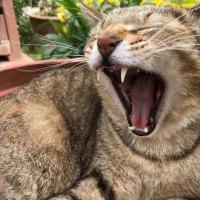 ネコのあくび