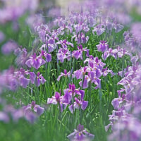 早咲きの花菖蒲