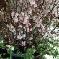 啓翁(けいおう)桜
