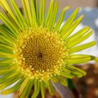 春の玄関先を飾る・・・萌黄のガーベラ