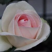 今咲いているバラ