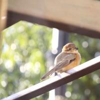 酉年の、初野鳥写真と寒紅梅♪