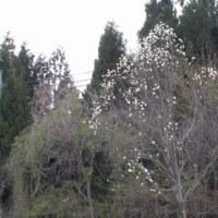 タムシバの木