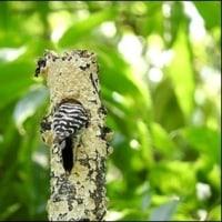 コゲラの巣作り。