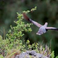 リュウキュウキジバト(琉球雉鳩)
