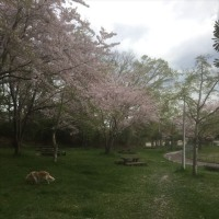 今年の桜ももう終わり−−−アップの時期がずれてすみません