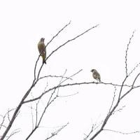 「高い樹の上で」 いわき フラワーセンターにて撮影! 小鳥