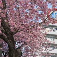 楽書き雑記「横綱ソメイヨシノの露払いと太刀持ち=名古屋の『オオカンザクラ』と『カンヒザクラ』を見てきました」