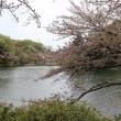 ソメイヨシノ 神奈川県立三ッ池公園